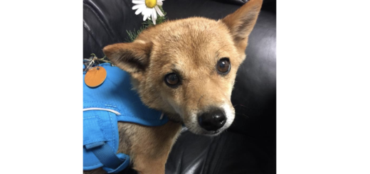 Available For Adoption Colorado Shiba Inu Rescue